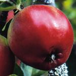 appleliten